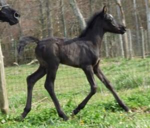 Black filly